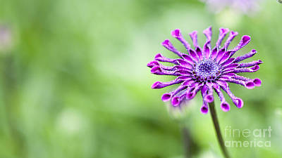 Photograph - Purple Flower by Serene Maisey