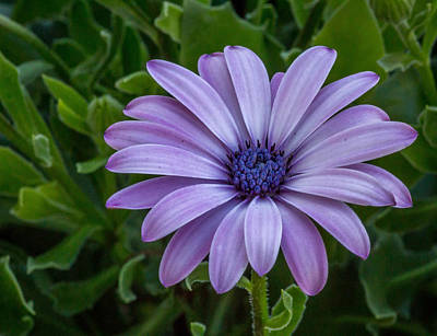 Art Print featuring the photograph Purple Flower  by Trace Kittrell