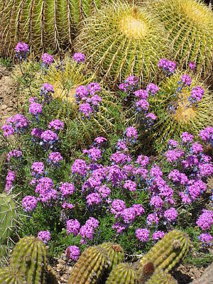 Purple Flowers And Barrel Cacti Art Print by Mark Barclay