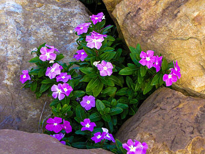 Photograph - Purple Flowers In Rocks by RobLew Photography