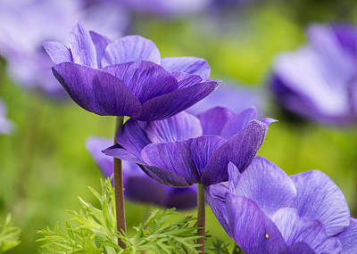 Anemone Photograph - Purple Flowers by Jon Woodhams