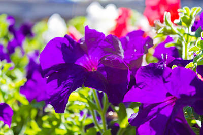 Photograph - Purple Flowers by Jonny D