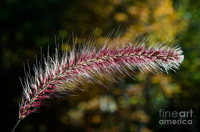 Photograph - Purple Fountain Grass 7 by Cassie Marie Photography