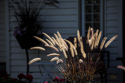 Photograph - Purple Fountain Grass by Stan Kwong