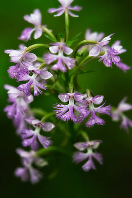 Photograph - Purple Fringed Orchid by Jeff Sinon