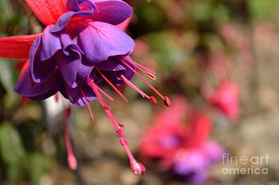 Purple Fuchsia Art Print by Scott Lyons