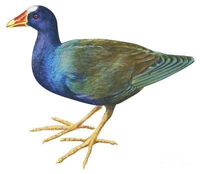 Horizontal Drawing - Purple Gallinule by Anonymous