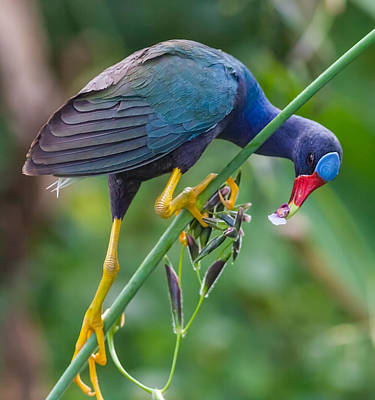 Photograph - Purple Gallinule by Melinda Fawver