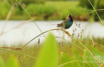 Photograph - Purple Gallinule Perched by Lynda Dawson-Youngclaus