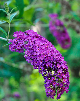 Photograph - Butterfly Bush Garden Flower by Ginger Wakem