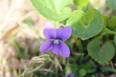 Photograph - Purple Garden Flower by Khoa Luu