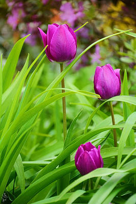Floral Photograph - Purple Gems- Purple Tulips Rhode Island Tulips Purple Flower by Lourry Legarde