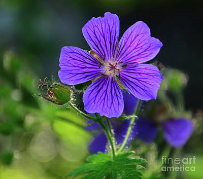 Photograph - Purple Geranium by Kelly Black