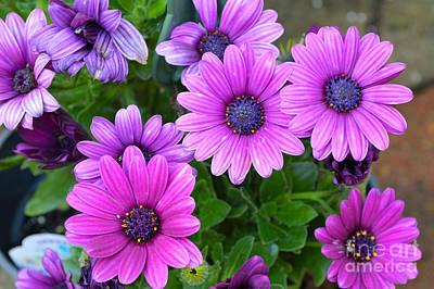 Keith Richards - Purple Gerber Daisies by Alys Caviness-Gober