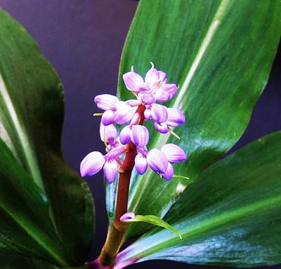 Photograph - Purple Ginger by Stephanie Callsen