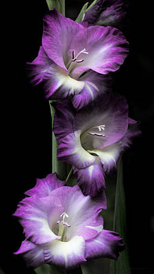 Purple Gladiola Flowers Evening Light Art Print by Jennie Marie Schell