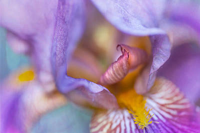 Purple Glow. Macro Iris Series Art Print