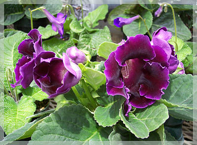 Gloxinias Photograph - Purple Gloxinia by Georgia Hamlin