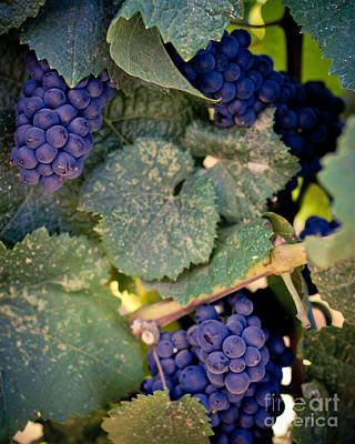 Purple Grapes On The Vine Art Print by Ana V Ramirez