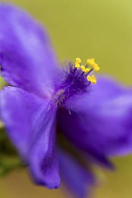 Spiderwort Photograph - Purple Haze by Caitlyn  Grasso