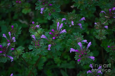 Photograph - Purple Henbit by Mark McReynolds