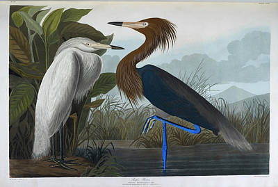 The Birds Photograph - Purple Heron by British Library