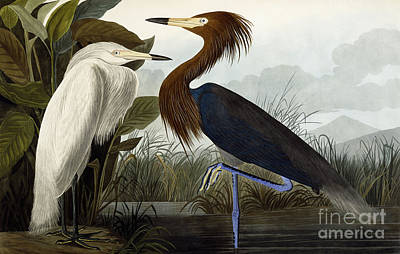 Herons Drawing - Purple Heron by John James Audubon