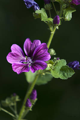 Photograph - Purple Hollyhock Flowers by Christina Rollo
