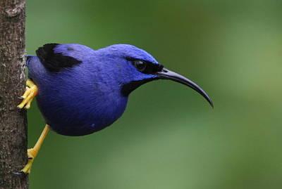 Photograph - Purple Honeycreeper by Joe Sweeney