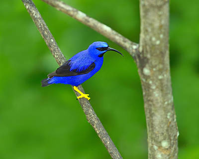 Photograph - Purple Honeycreeper by Tony Beck