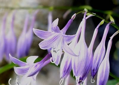 Photograph - Purple Hostas by Peggy King