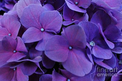 Photograph - Purple Hydrangea by Doug Heavlow