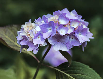 Purple Hydrangeas Photograph - Purple Hydrangea Flower Bouquet by Jennie Marie Schell