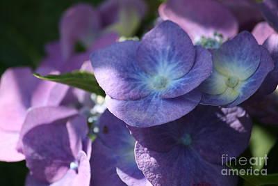 Photograph - Purple Hydrangea by Mary-Lee Sanders