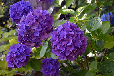 Photograph - Purple Hydrangea by Shanna Hyatt