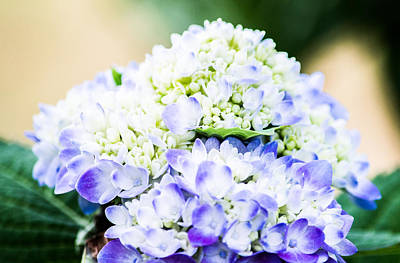 Purple Hydrangea  Art Print by Shelby  Young