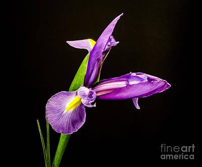 Purple Iris 2 Art Print by Mitch Shindelbower