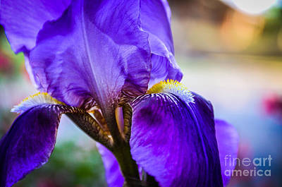 Photograph - Purple Iris by Cheryl McClure