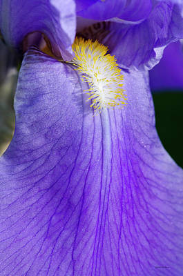 Crystal Wightman Rights Managed Images - Purple Iris Royalty-Free Image by Crystal Wightman