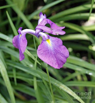 Purple Iris Art Print by Denise Pohl