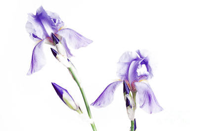 Photograph - Purple Iris Glow by Andee Design