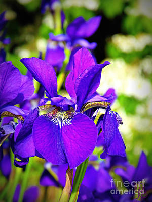 Photograph - Purple Iris by Mindy Bench
