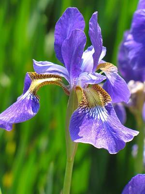 Photograph - Purple Iris by MTBobbins Photography