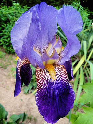 Photograph - Purple Iris by Natalie Holland