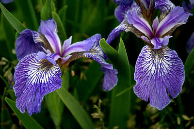 Photograph - Purple Iris Of Newfoundland by Jale Fancey