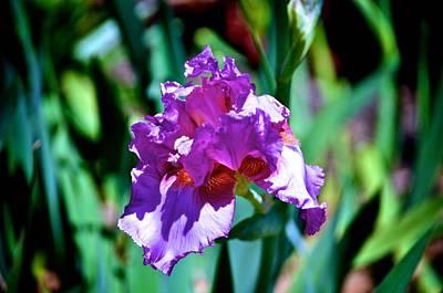 Photograph - Purple Iris Opens by Kristina Deane