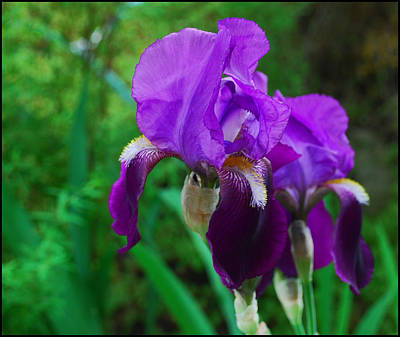 Photograph - Purple Iris by Ron Roberts