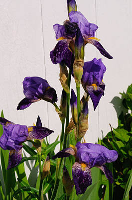 Photograph - Purple Iris Stalk by Tikvah's Hope