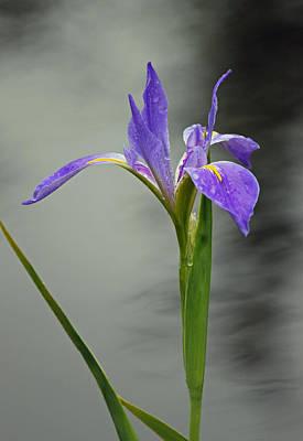 Purple Iris Original