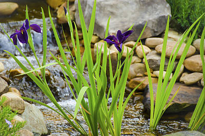 Photograph - Purple Irises Growing In Waterfall by Penny Lisowski